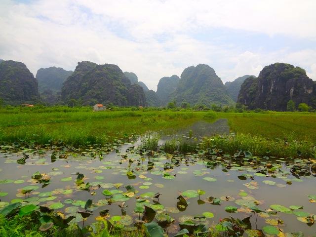 Ninh Binh - baie d'Halong terrestre - Tam Coc - Fleur de lotus à Tam Coc