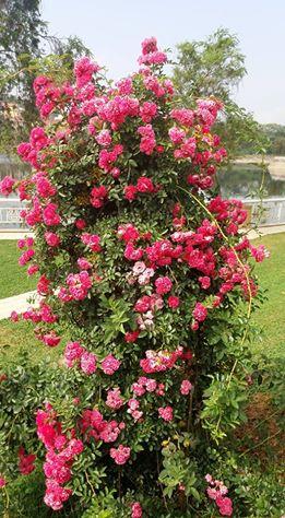 fleur Sapa2