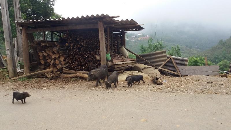 petit cochon noir Sapa 2