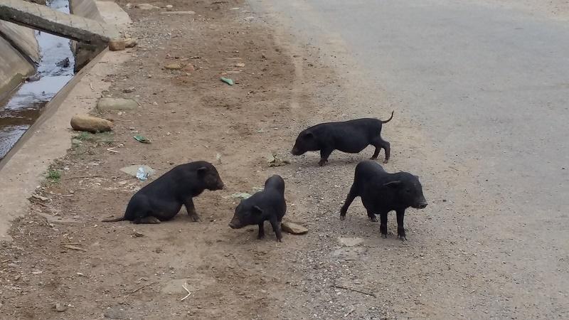 petit cochon noir Sapa